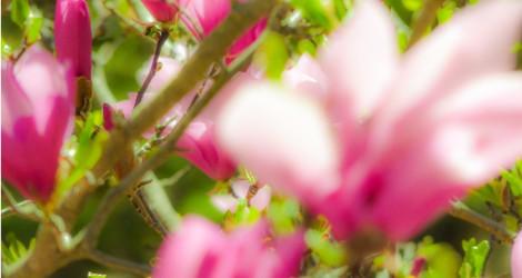 cropped-magnolia1.jpg