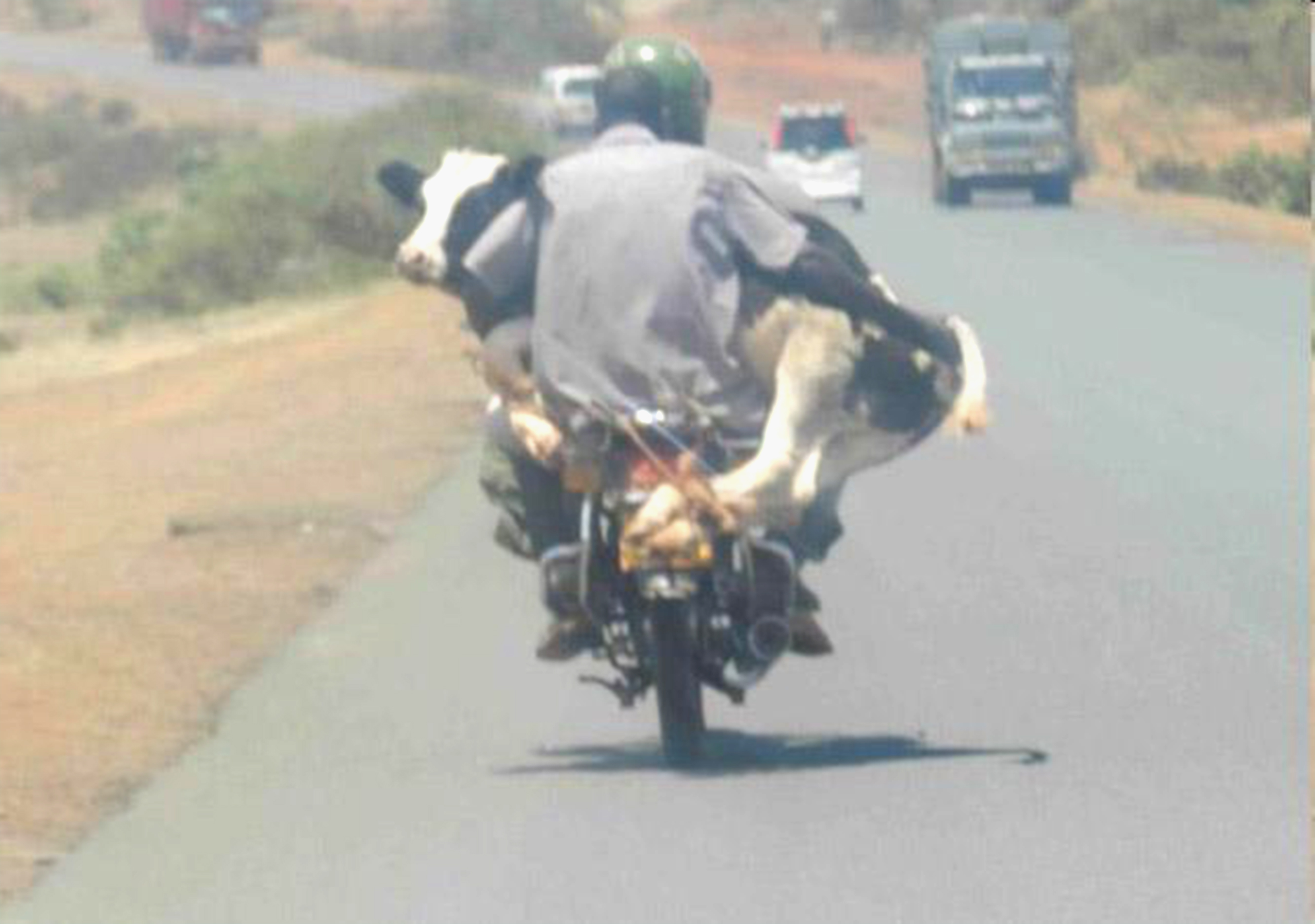 ridingwithcow