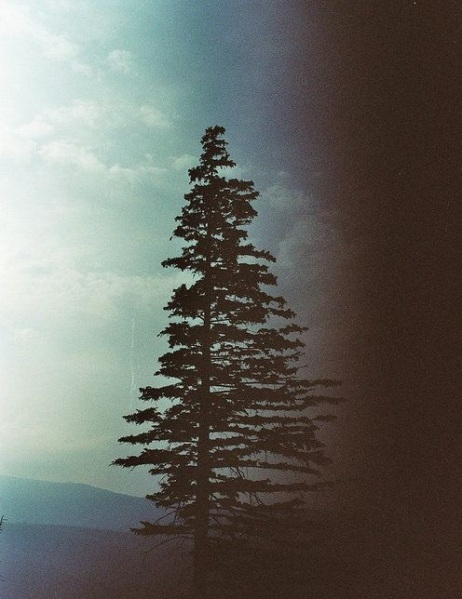Pine tree http://www.tumblr.com/search/pine+tree