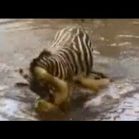 "Shocking video Zebra Drowning a Lion to SAVE her Life. Inspirational Video ""Lion vs Zebra"""