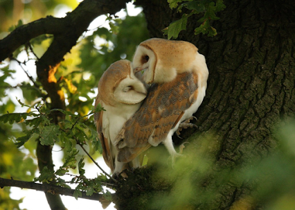 141001_kissing_suffolk-barn-owls
