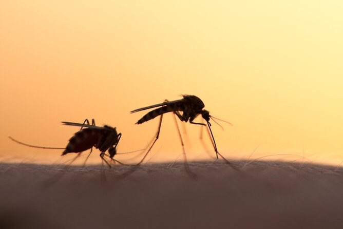 Zika Virus May Have Crossed Over to Common Mosquitos